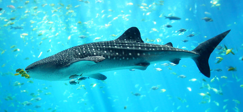 1024px-whale_shark_georgia_aquarium